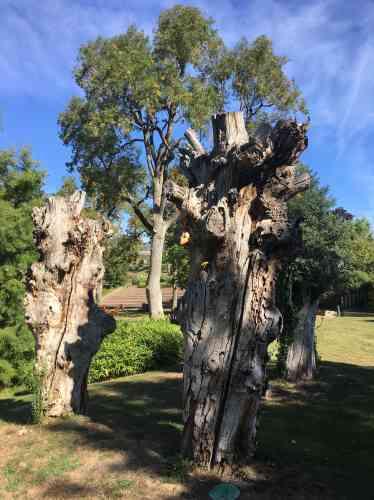Ces troncs d'arbres morts, colonisés par des insectes xylophages, ont été laissés en place pour servir de... garde-manger à leurs prédateurs, oiseaux ou autres insectes.