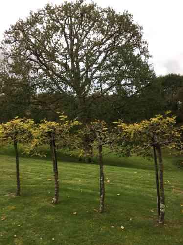 Les arbres taillés sont des féviers de plus de vingt-cinq ans.