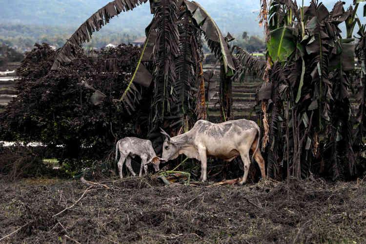 A Talisay, le 13 janvier. Le bétail aussi est recouvert de cendre.