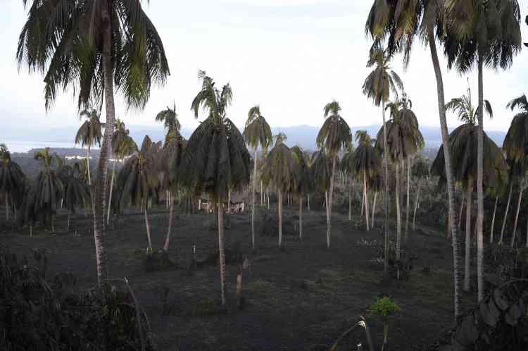 A Tanauan, les branches des cocotiers ploient sous le poids de la cendre.